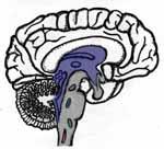 brain.stem